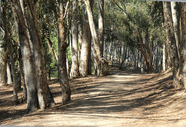 June 10, 2013: A walk in the Eucalyptus forest at the end of our street.