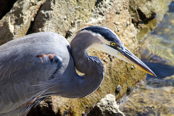 "October 14, 2013: Great Blue Heron at Dana Point...went looking for the ""Elephant Parade"" and found this heron enjoying the sun and looking for prey."