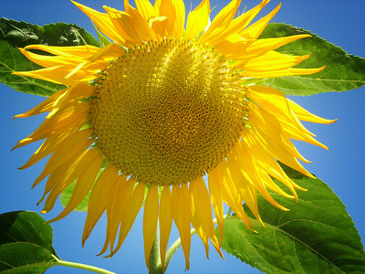 June 18, 2013: A sunflower that I saw when I was out driving.